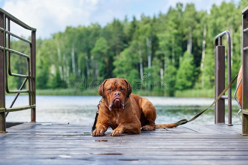 Brown Bordeaux dog sits on the bridge. Light brown Bordeaux dog is waiting for the owner on wood bridge royalty free stock images