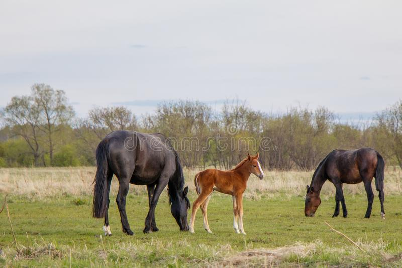 A light brown foal and two dark horses graze in the pasture stock image