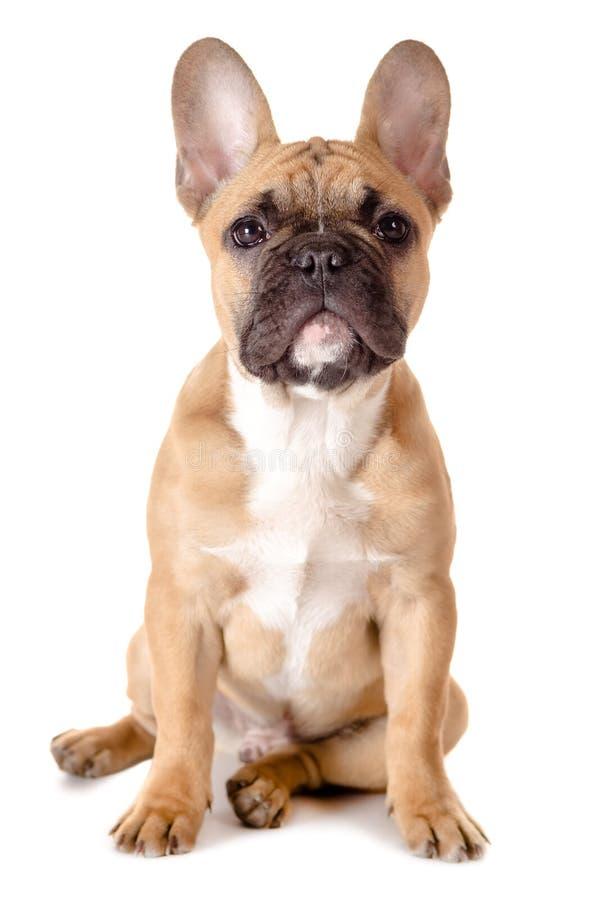 French bulldog before white background royalty free stock photos