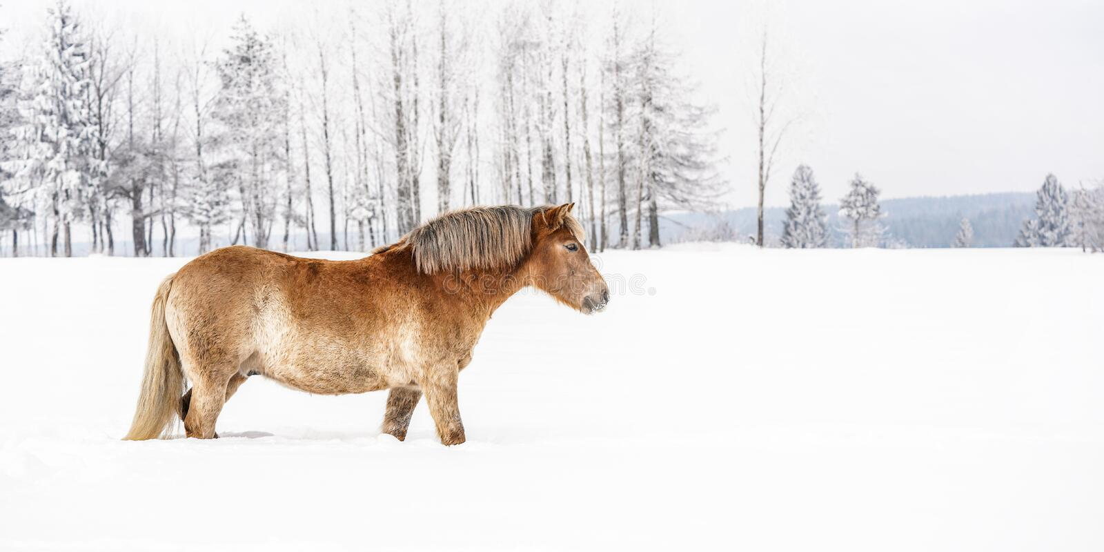 Light brown Haflinger horse wading in snowy field during winter, blurred trees background stock photography