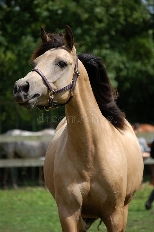 Download Light brown horse stock image. Image of pony, head, ears - 19940375