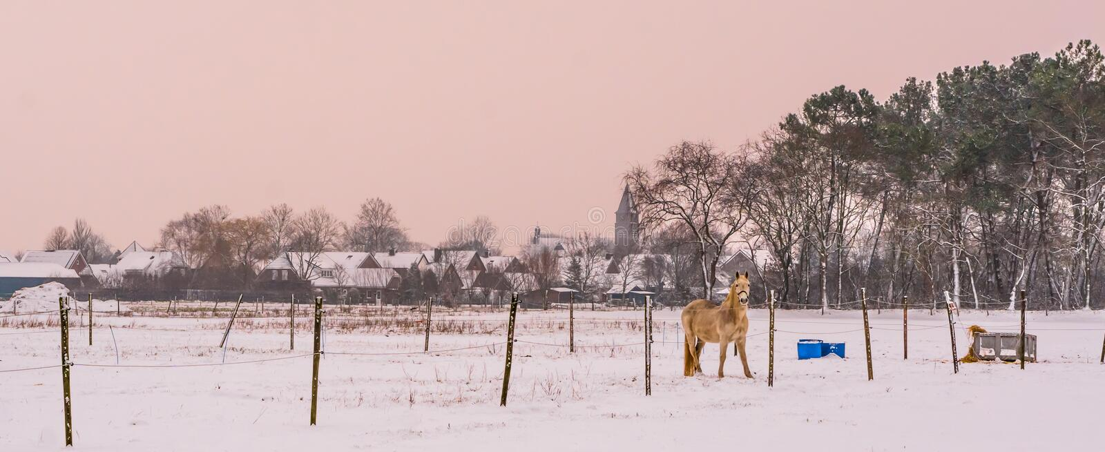 Light brown horse standing in a white snowy pasture, beautiful countryside scenery with on the village stock photo