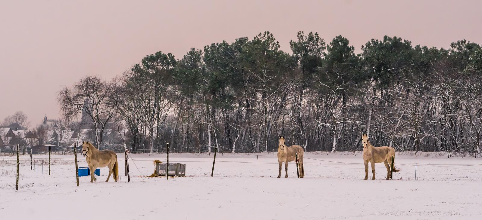 Light brown horses standing in the pasture and looking at the camera during winter season, white snowy meadow, beautiful nature stock image