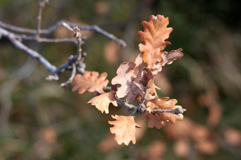 Light brown leaves left on tree branch after winter on tree in local garden stock photo