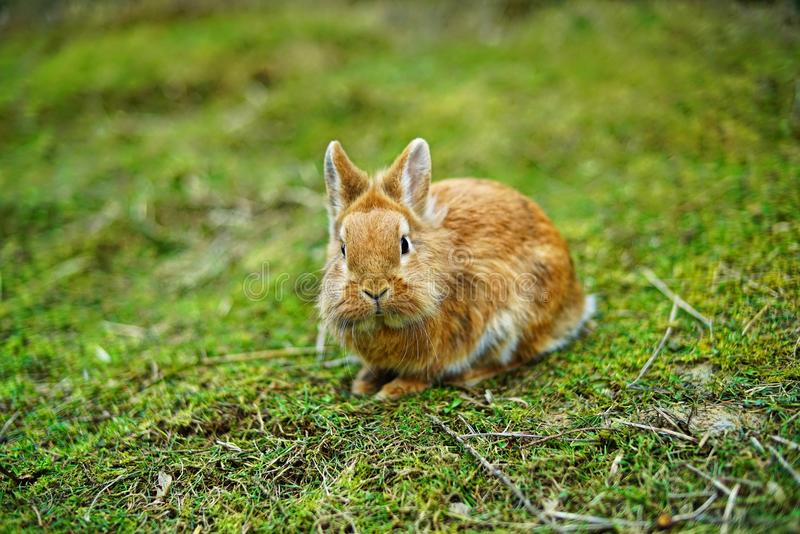Light brown lionhead rabbit outdoors on the lawn, watching. Alert royalty free stock photography