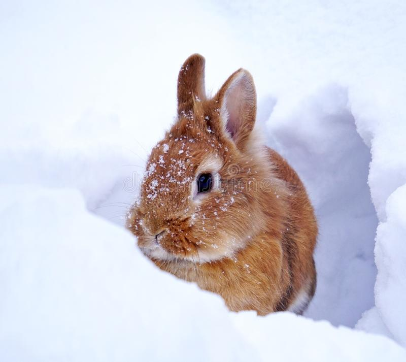 Light brown lionhead rabbit outdoors in the snow, watching. Light brown lionhead rabbit outdoors in the snow, snowflakes on the head, watching royalty free stock photography