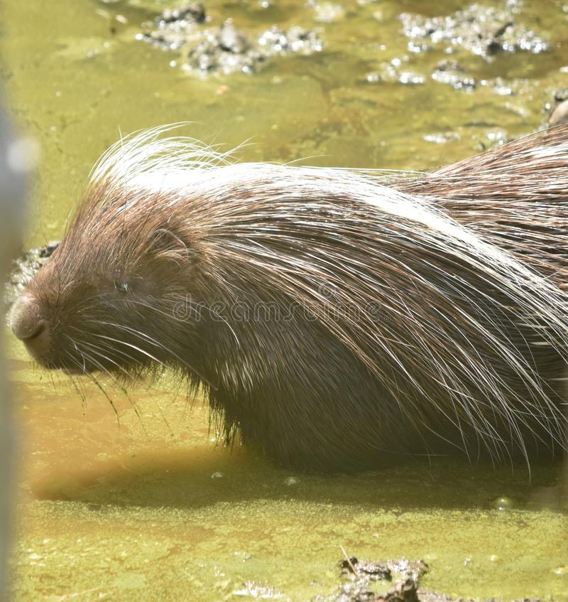 Light brown quilled porcupine walking into dirty water. Cute brown porcupine walking into murky water stock photo