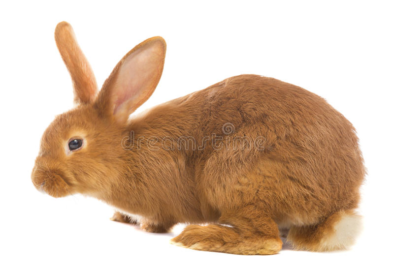 Light brown rabbit stock photo. Image of breed, closeup ...