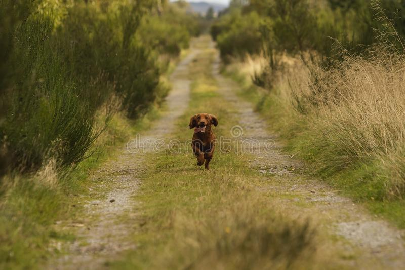 Light Brown Springer Spaniel Outside In The Countryside Stock Photo