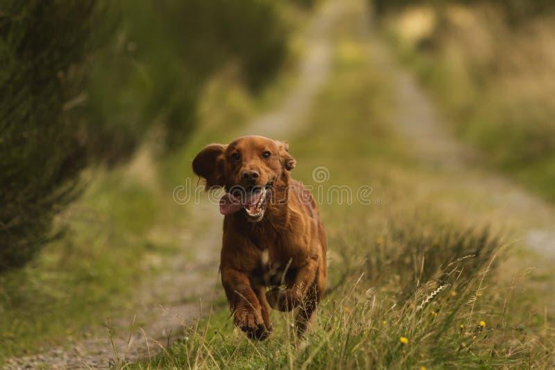 Light brown springer spaniel outside in the countryside. Light brown springer spaniel running outside in the countryside, Scotland UK royalty free stock image