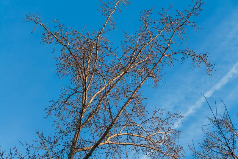 A light brown tree poplar without leaves is on a blue sky background with a group of blurred white traces of airplanes. A light brown tree poplar with buds and stock photos