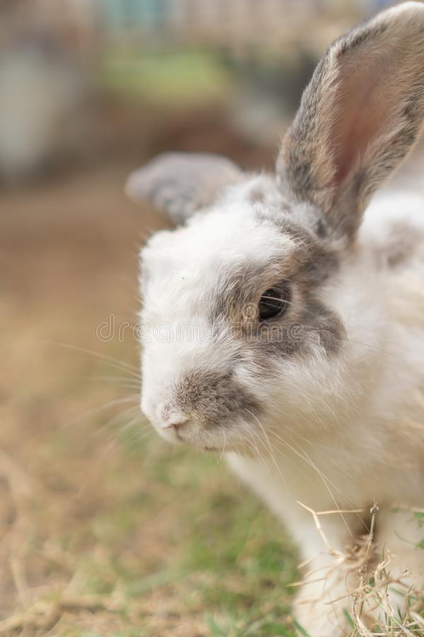 The light brown and white rabbit is standing on the ground. With a blurred background royalty free stock photo
