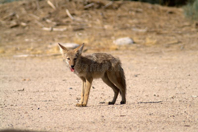 Coyote stands on the sand in the Mojave Desert. Light brown wool. Stuck out tongue. Coyote in the National Park Mojave Desert, USA. Light background. A look at stock photography