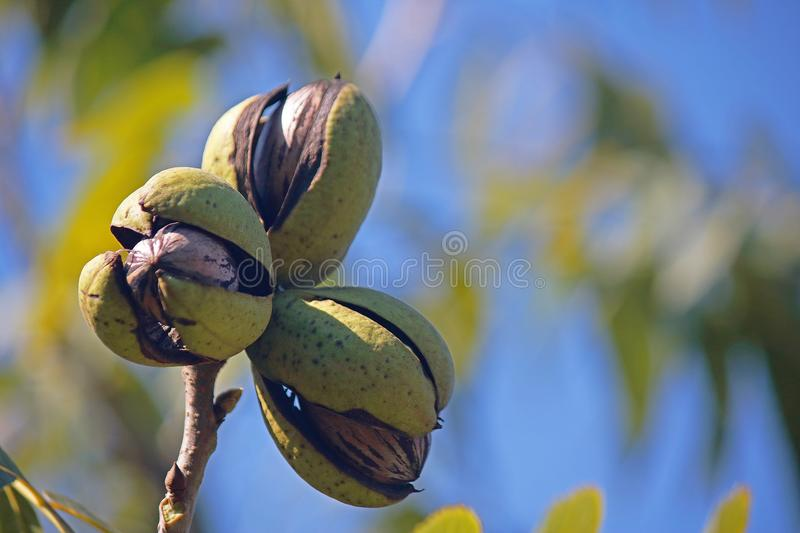 LIGHT ON A CLUSTER OF THREE RIPE PECAN NUTS IN GREEN HUSKS ON A TREE. View of pecan nut tree with green foliage and bearing nuts at the end of summer in a garden stock photos