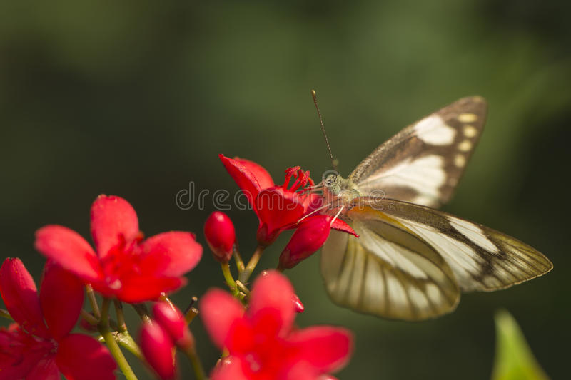 Light-Colored Butterfly stock images