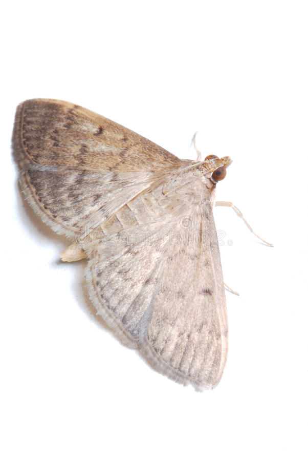 Light colored moth royalty free stock image