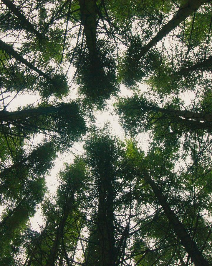 Look up. Light coming through the canopy of a farmed forest stock photo