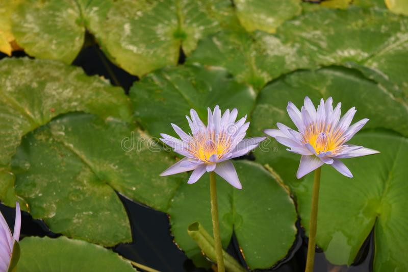 Light Creamy Purple water lilies. With green lily pads in natural environment and natural light stock images