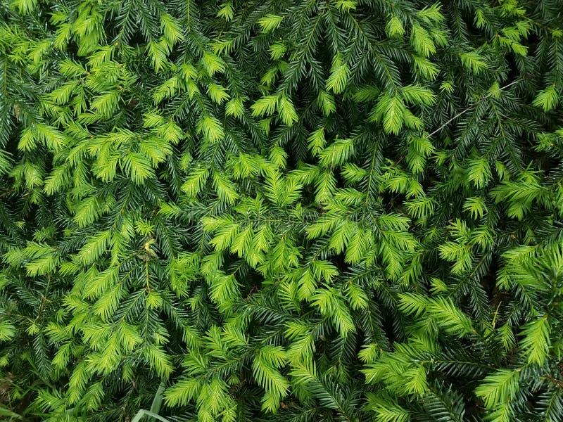 Light and dark green pine needles on bush. Light and dark green pine needles or leaves on bush stock images