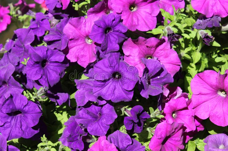 Violet flower grows in north india. Light and dark Violet flower grows in north india royalty free stock images