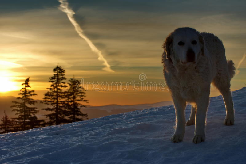 Carpathian Shepherd. Big dog in the light of sunset. Winter mountain landscape. Carpathian Shepherd. Photo shoot with big dog in the light of sunset. Winter stock image