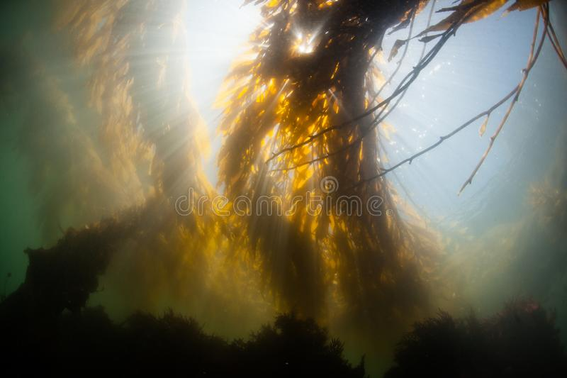Light Descending into Giant Kelp in California Waters royalty free stock photos