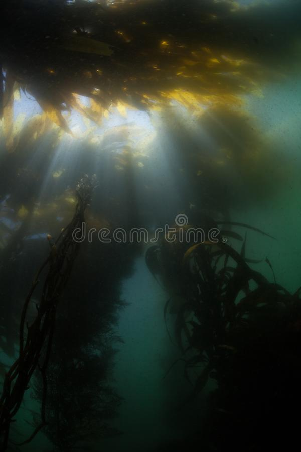 Light Descends Under Giant Kelp in Northern California Waters royalty free stock images