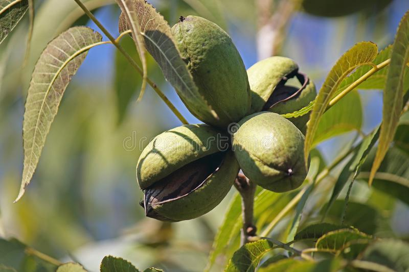 LIGHT FALLING ON A GREEN PECAN NUT HUSK CONTAINING A NUT ON THE TREE. View of pecan nut tree with green foliage and bearing nuts at the end of summer in a garden royalty free stock photography