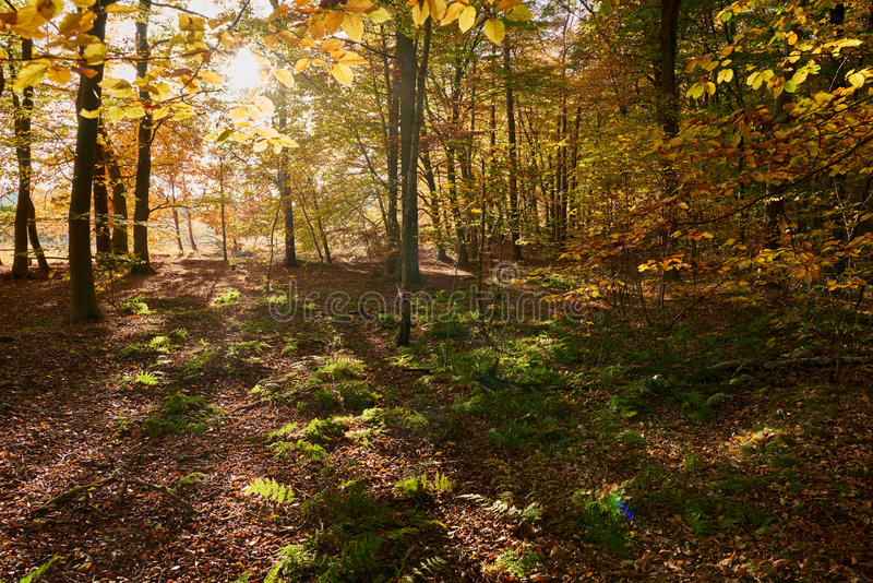 Light flooded autumn forrest near Haltern in NorthrheinWestphalia in Germany. Light flooded autumn forrest near Haltern in NorthrheinWestphalia in Germany stock image