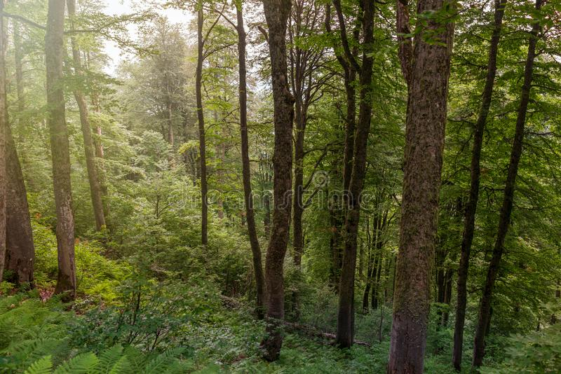 Light fog in the green forest. The sun`s rays make their way through the fog stock photography