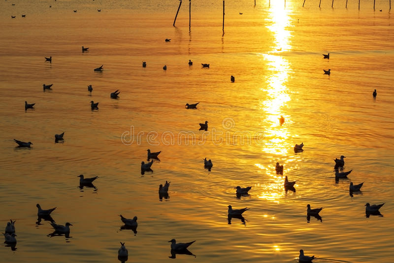 Light golden sunest seagull. Light golden sunset seagull ply water at Bang Pu Seaside of Thailand stock photography
