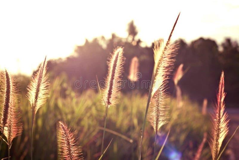 Light. With grass in evening summer