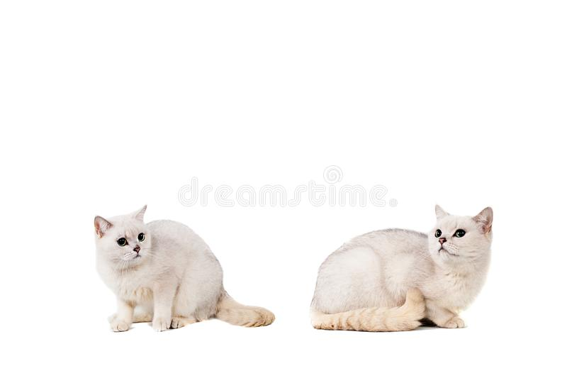 Light gray short-haired cat thoroughbred burmilla isolate on white background with place for text.  royalty free stock images
