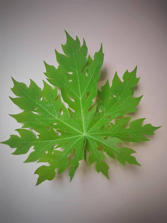Light green colored of young Papaya leaf which has a unique shape royalty free stock photos