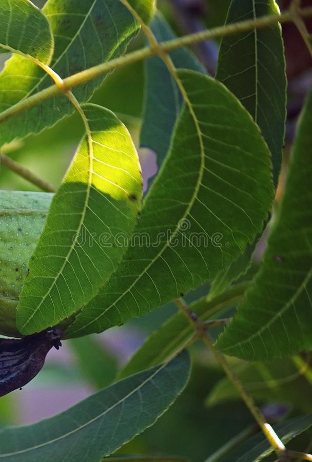 LIGHT ON GREEN PECAN NUT LEAVES. View of pecan nut tree with green foliage at the end of summer in a garden royalty free stock image