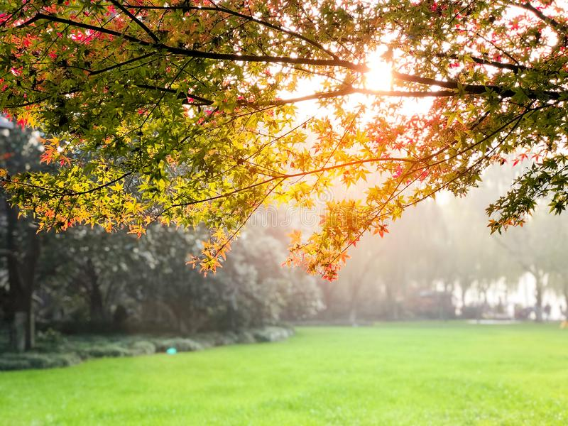 Light Green, Red , Orange maple leaves on branch of tree in the public park with Sunlight in the morning, feeling fresh in autumn. royalty free stock image