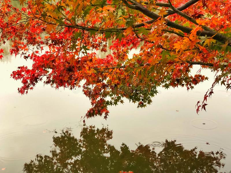 Light Green, Red, Orange and Yellow maple leaves on branch of tree in the public park with drop of water, Reflection on the river. royalty free stock image