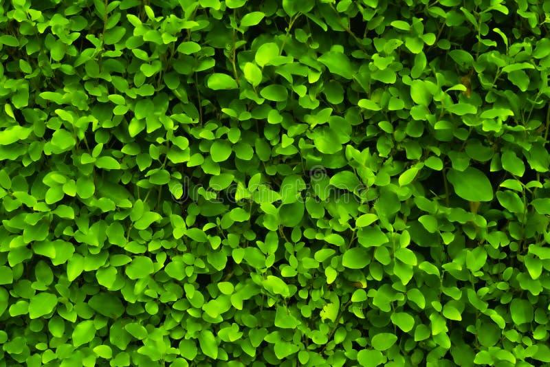 Light Green closeup leaves texture. Light Green shaded closeup leaves texture with shiny leaves trimmed straight flat stock photos