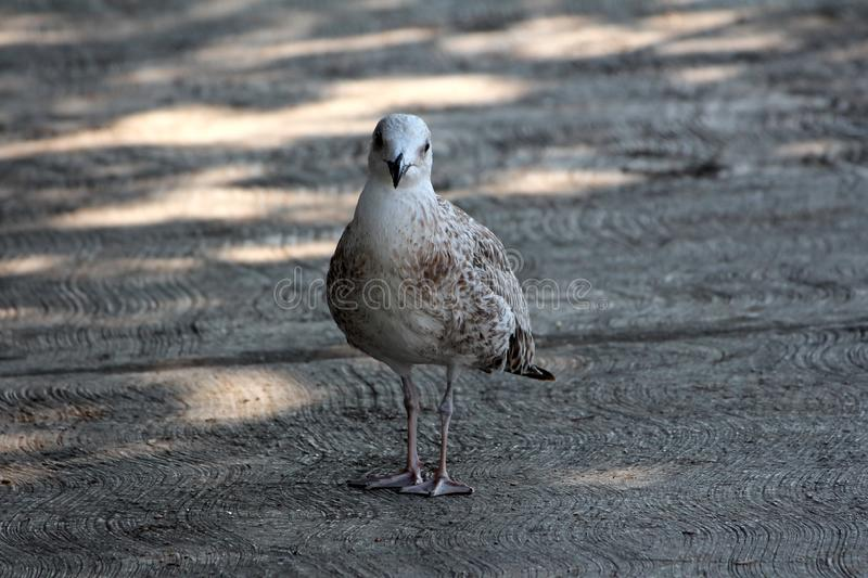Light grey bird with dark grey to brown spots on wings standing on concrete sidewalk in shade of large tree and looking directly stock photo