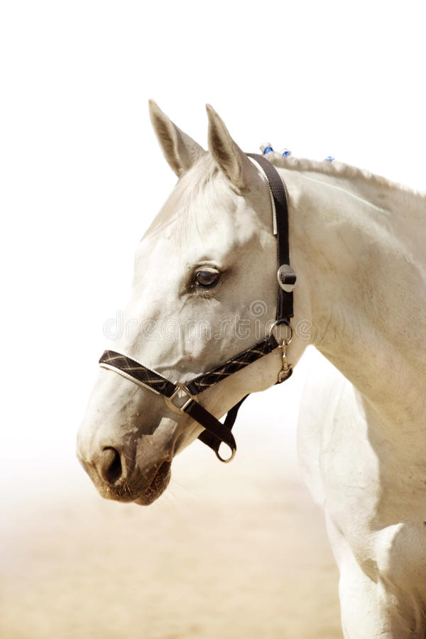 Download Light grey horse stock image. Image of breed, bred, veterinarian - 13615545
