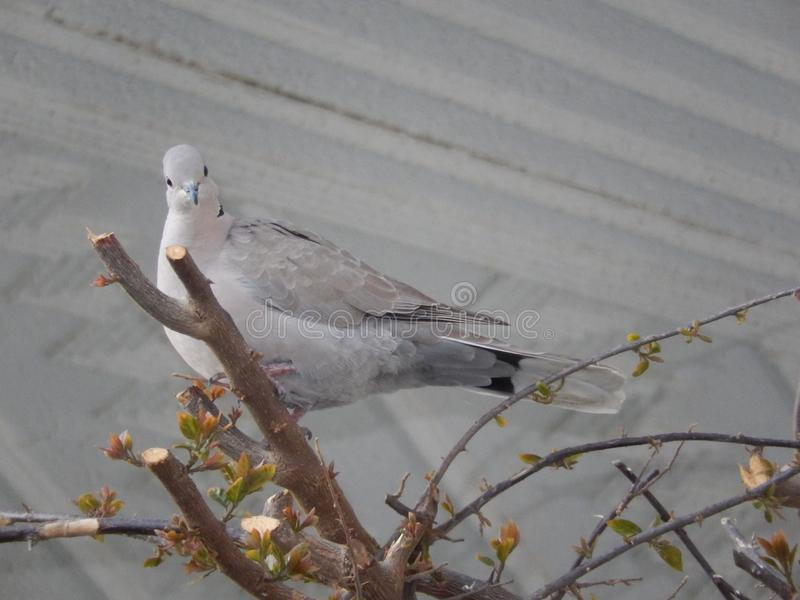 Grey pigeon on the tree branch stock image