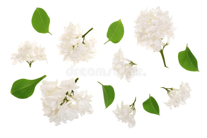 Light lilac flowers, branches and leaves isolated on white background. Flat lay. Top view. Light lilac flowers, branches and leaves isolated on white background vector illustration