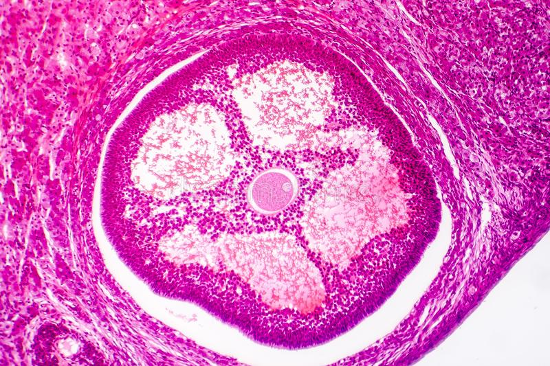 Light micrograph of human ovary royalty free stock images