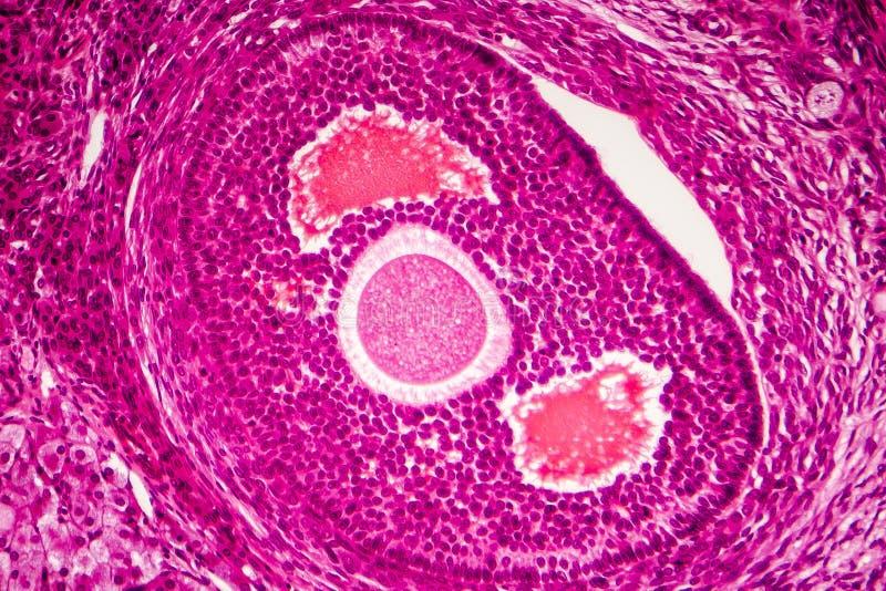 Light micrograph of human ovary. Showing follicle. Light microscopy, hematoxylin and eosin stain stock photography