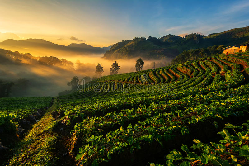 Light morning mist the strawberry farm is Ang Khang in Thailand. Landscape royalty free stock photography