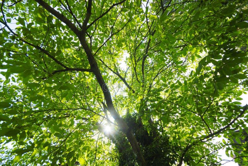 Light through patulous treetop. Sun Light through patulous treetop royalty free stock photos