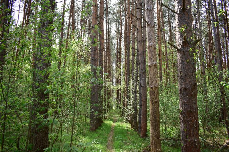 In a light pine forest trees make a melodious noise. The wind shakes the young leaves and grass royalty free stock images