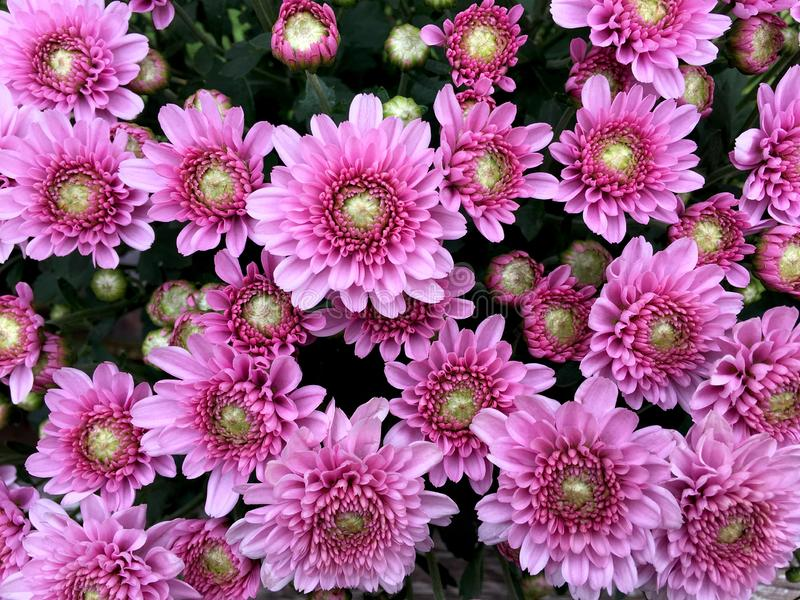 Light pink chrysanths flower front view in the bouquet. stock photography