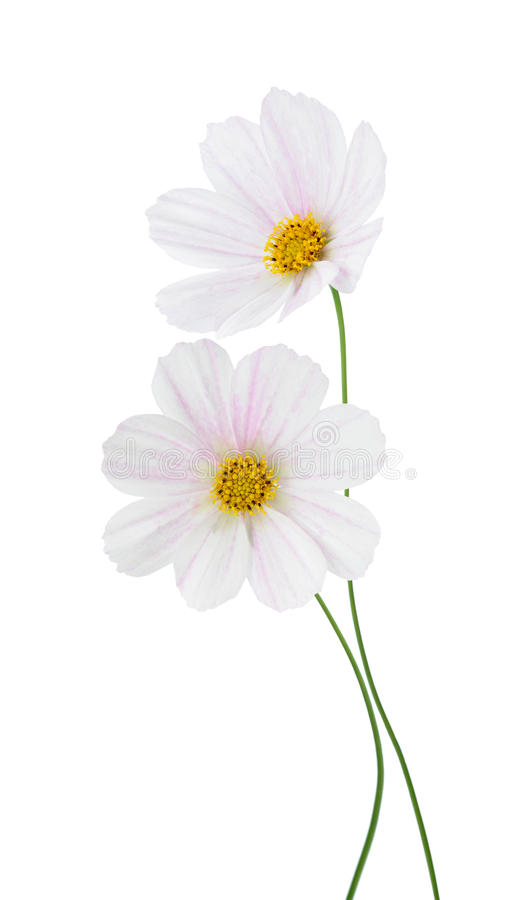 Download Light pink Cosmos stock illustration. Image of soft, perennial - 34922650