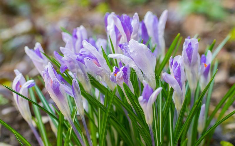 Light pink crocus flower carpet with early spring. Crocus Iridaceae royalty free stock image